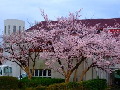 s-校長ブログ写真・桜