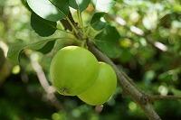 s-リンゴ